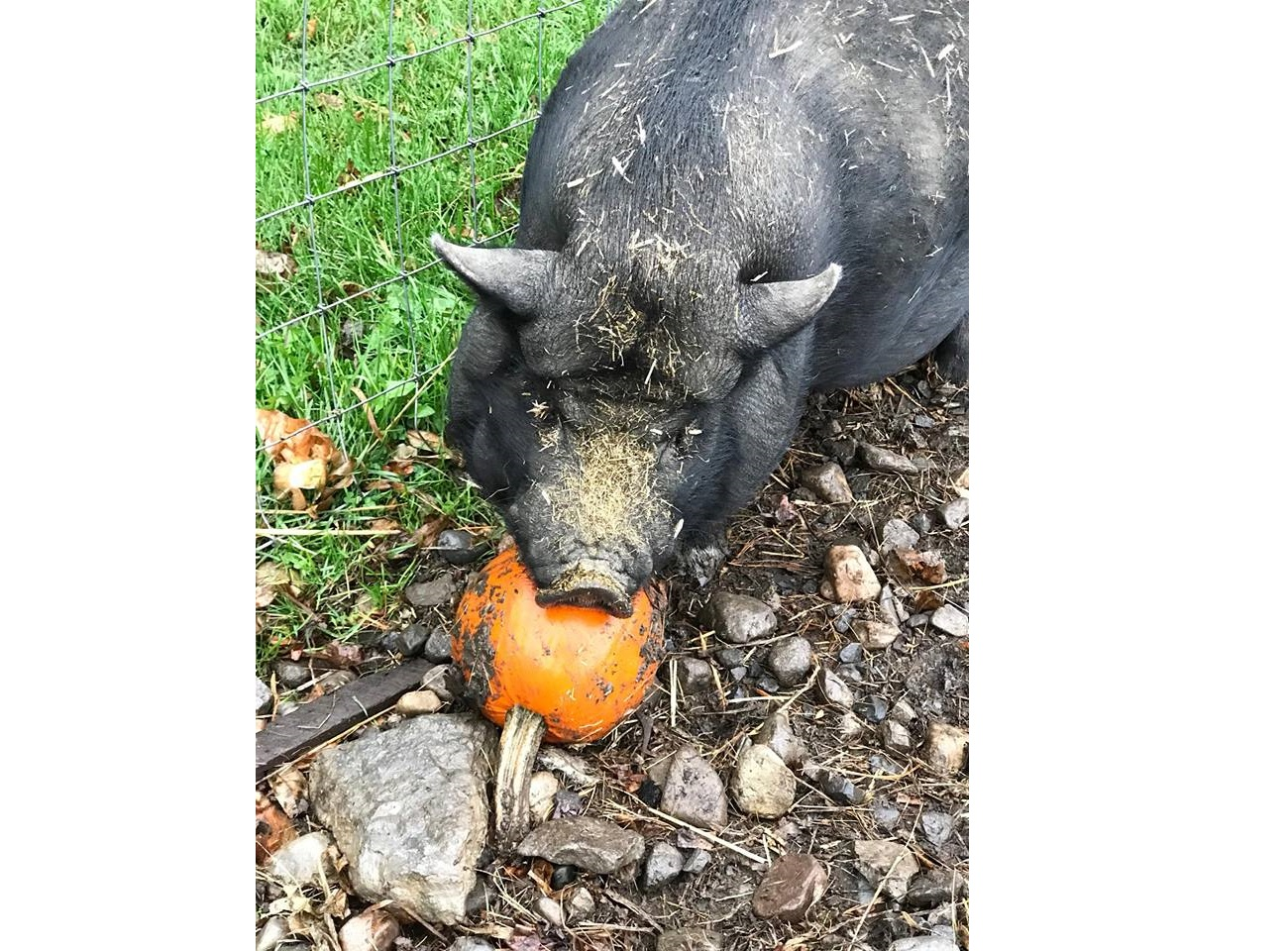 Happy as a pig in pumpkins