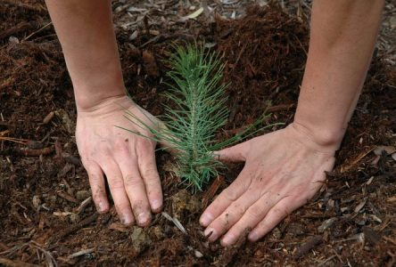 RRCA tree giveaway on now