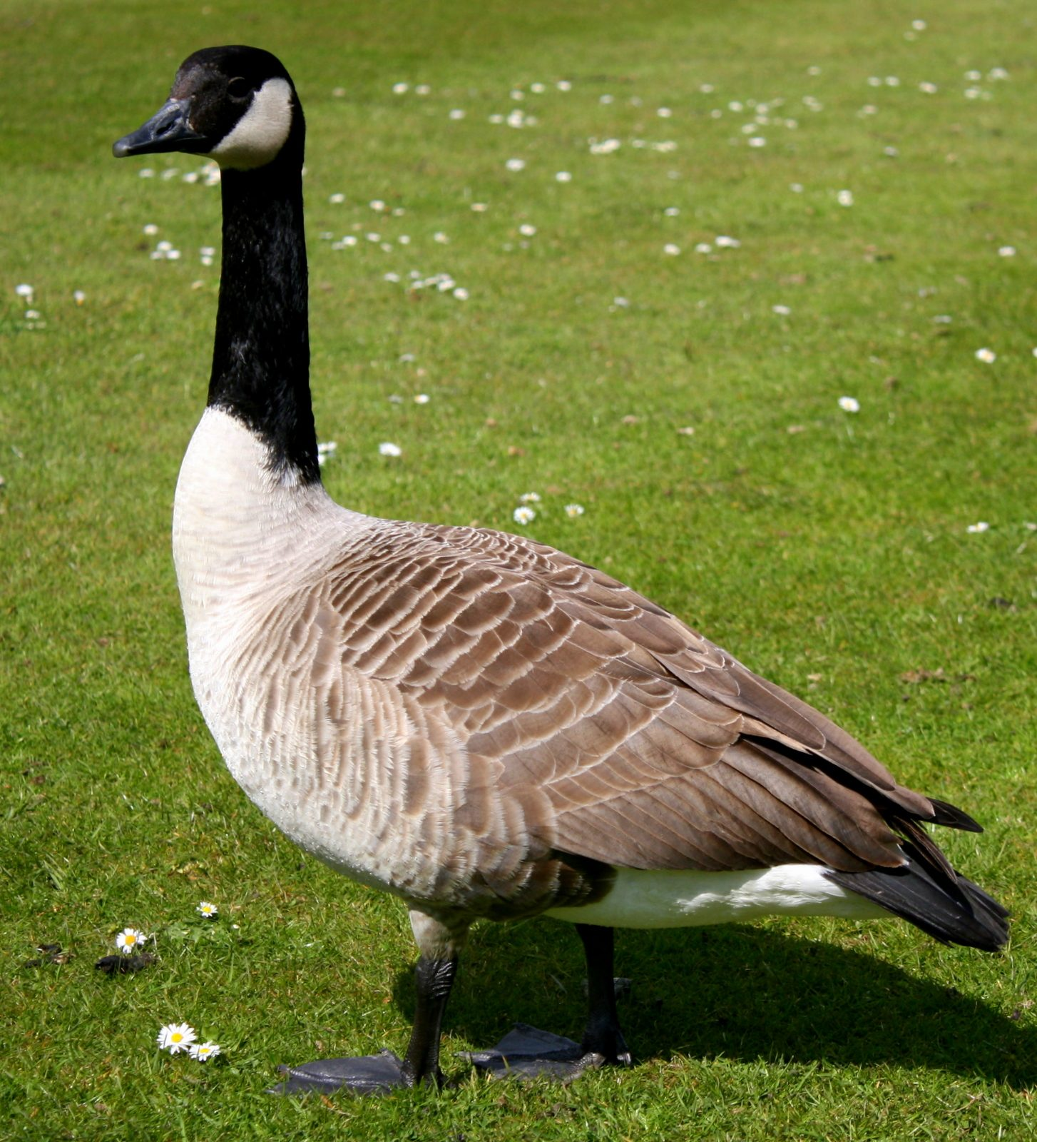 Canada geese are a real nuisance because of what they leave behind