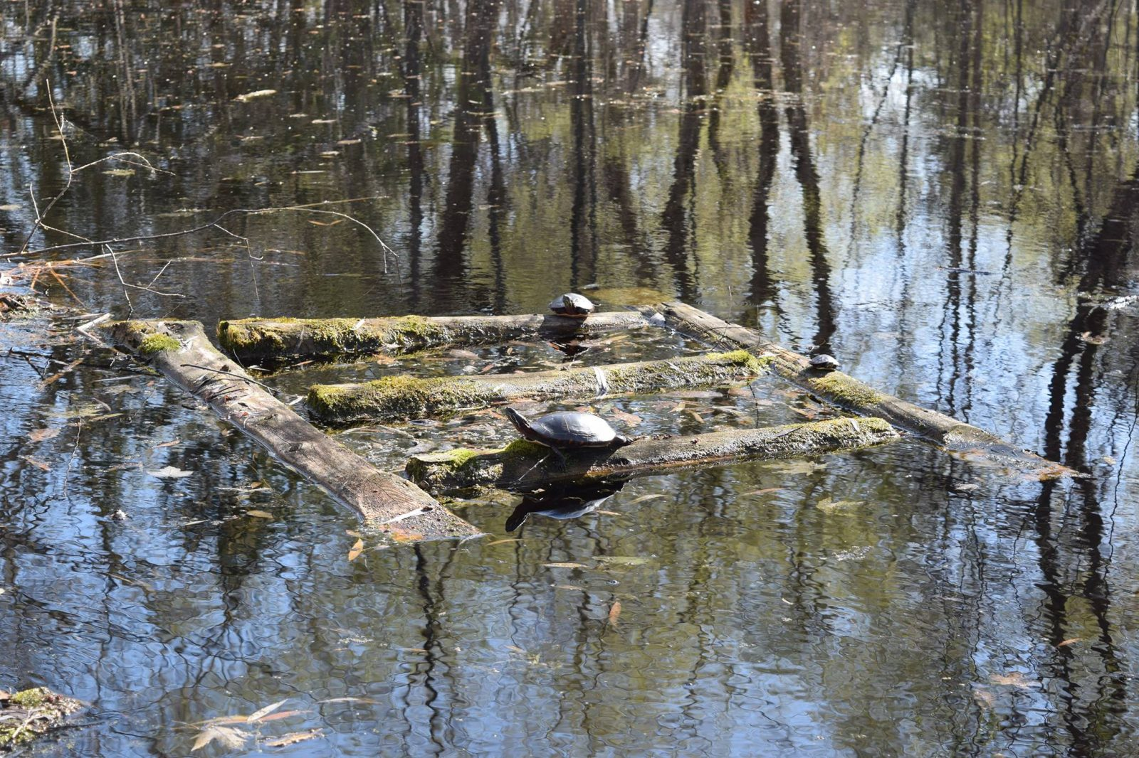 RRCA and TD to help turtles at Cooper's Marsh