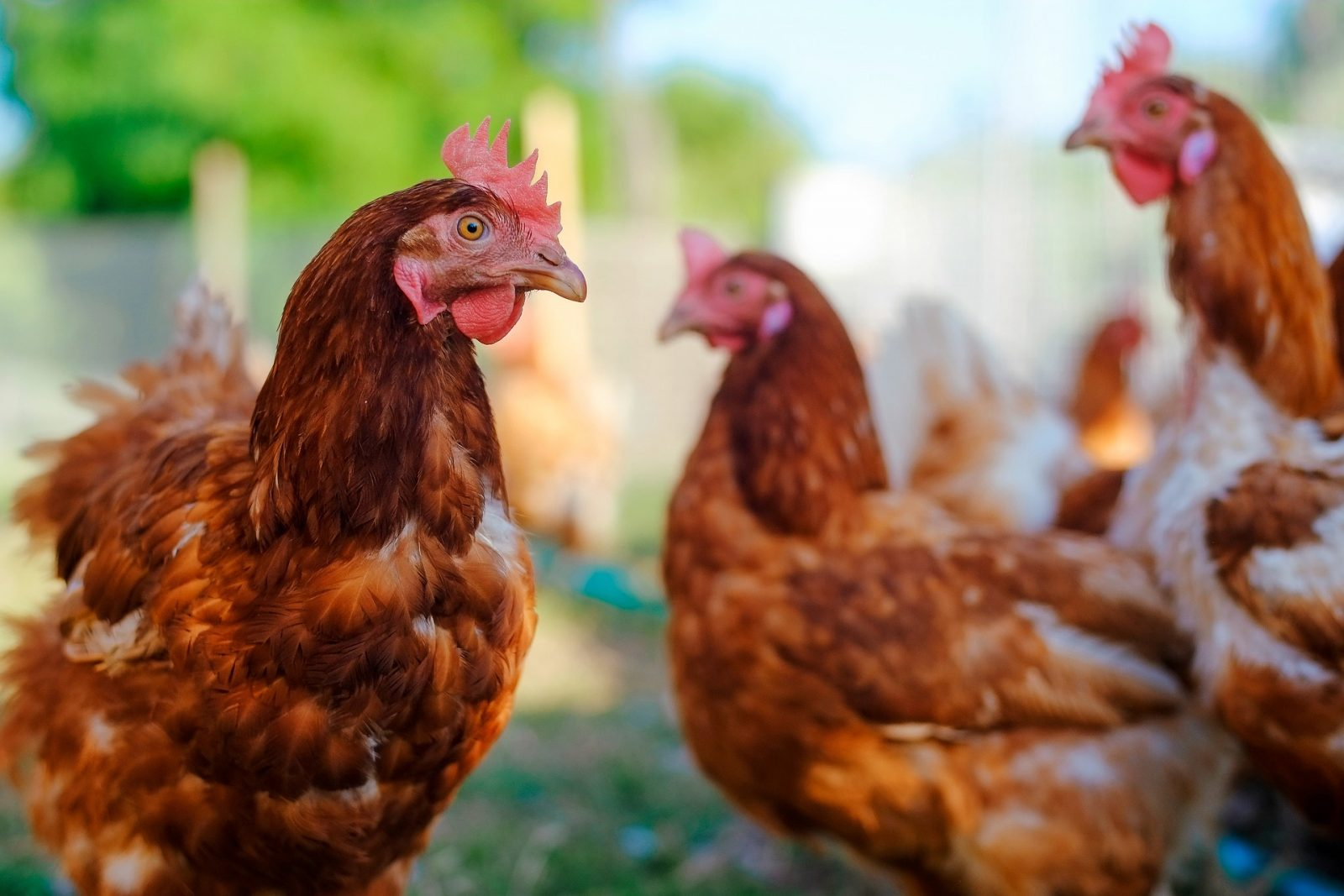 No chickens in South Glengarry villages