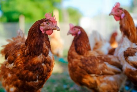 South Glengarry Council to consider chickens
