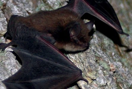 EOHU reminding residents to be careful around bats