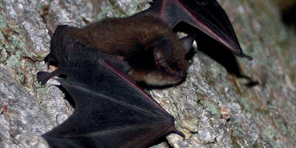 EOHU reminding residents to be careful around bats