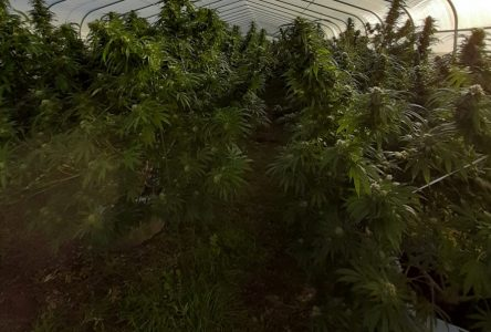 SDG OPP seize 1.7K cannabis plants