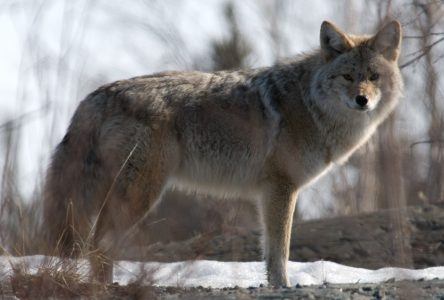 Active time of year for coyotes in region