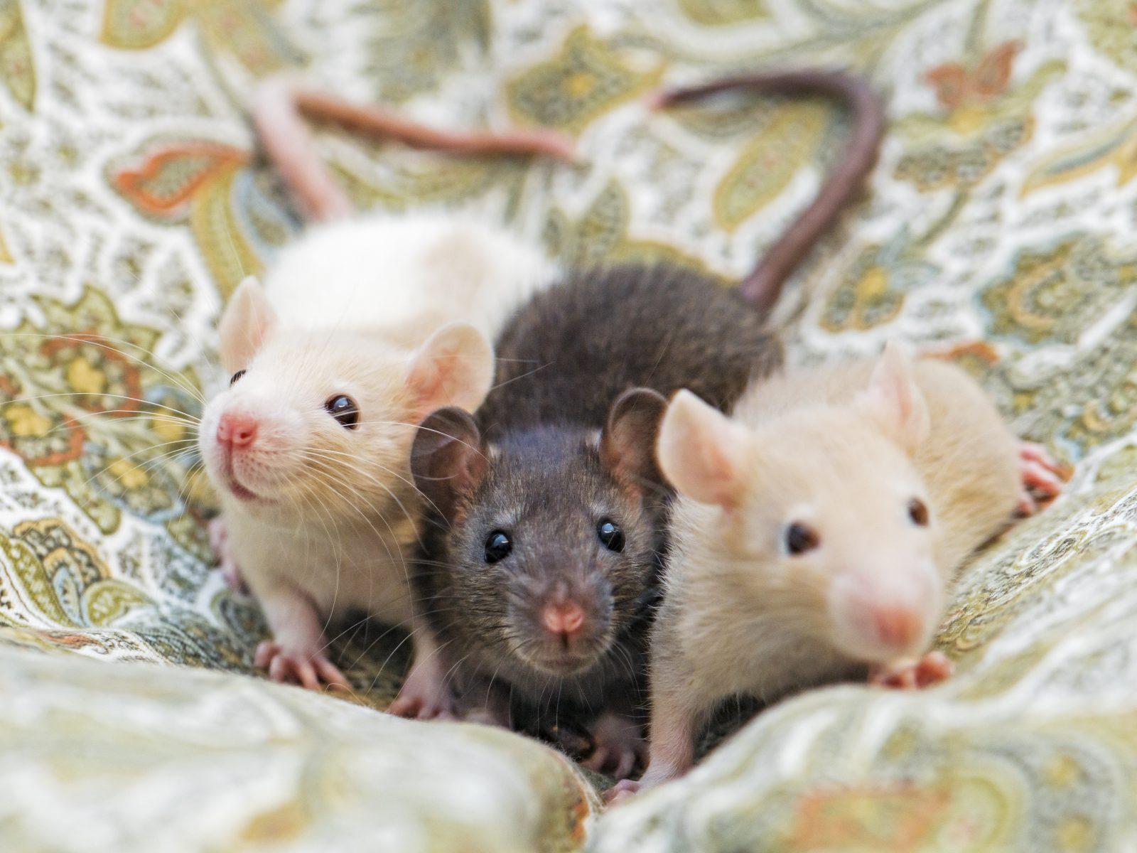 Building demolition halted due to rat infestation
